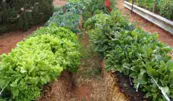 straw bale vegetable garden