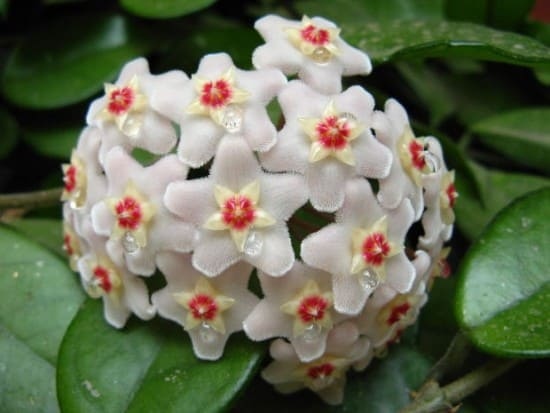 Growing Wax Plant Hoya
