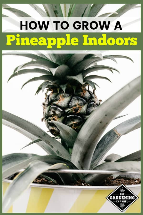 pineapple growing in container with text overlay how to grow a pineapple indoors