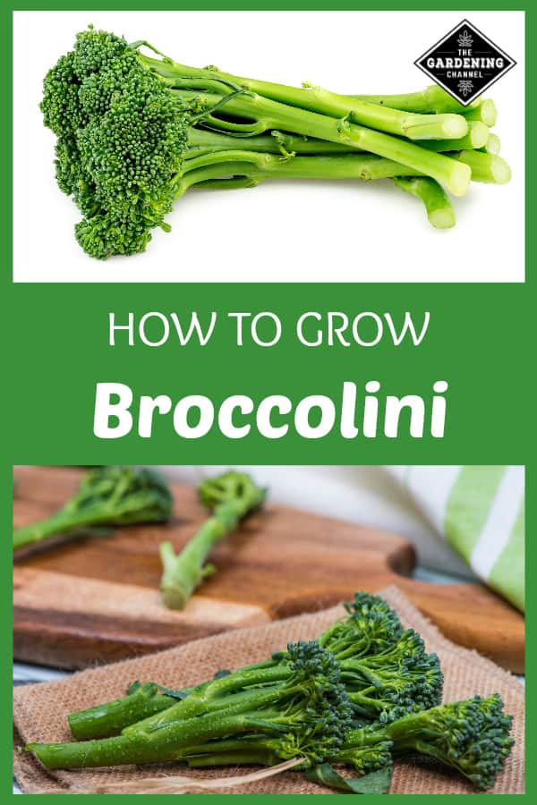 broccollini and broccolini prepared in kitchen with text overlay how to grow broccolini