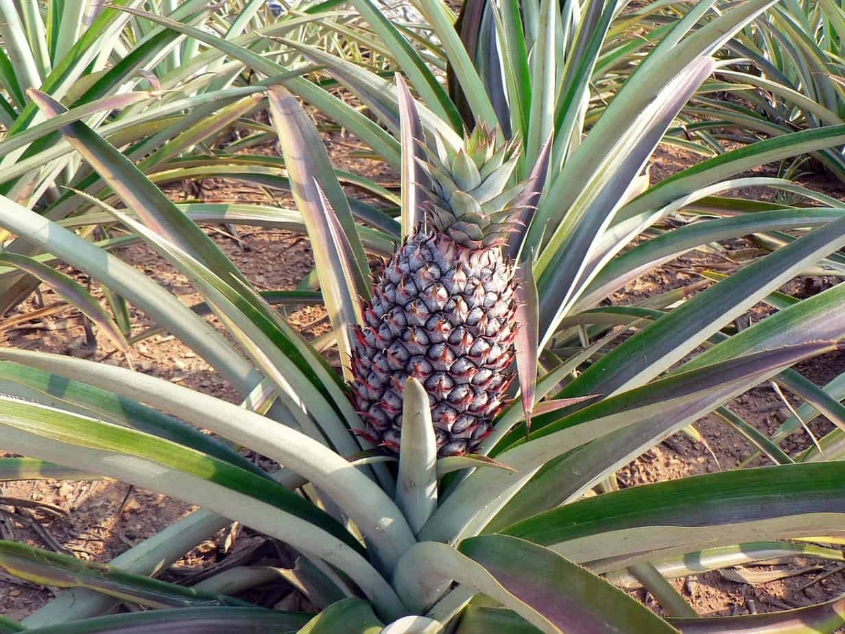 How To Grow A Pineapple Indoors Gardening Channel