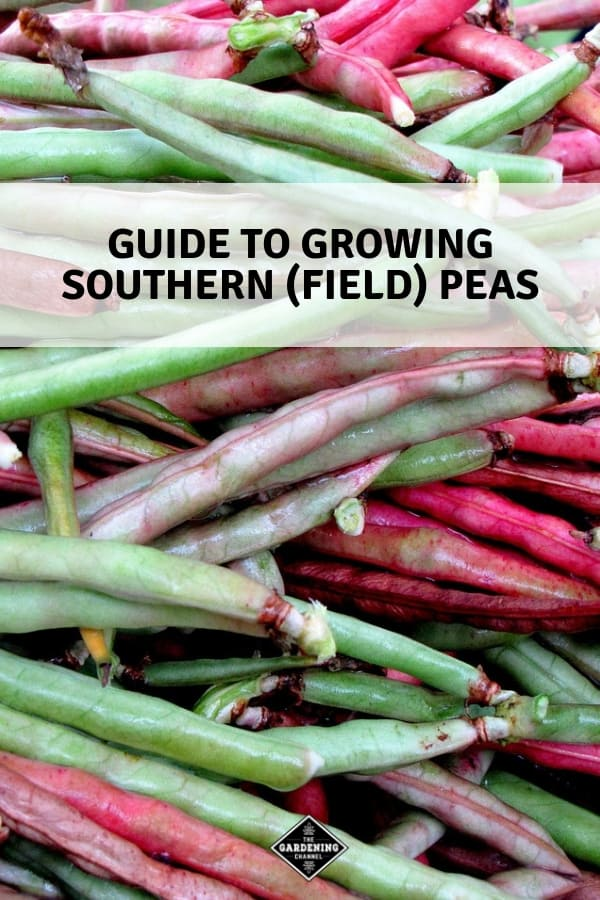close up of purple hull peas with text overlay guide to growing southern field peas