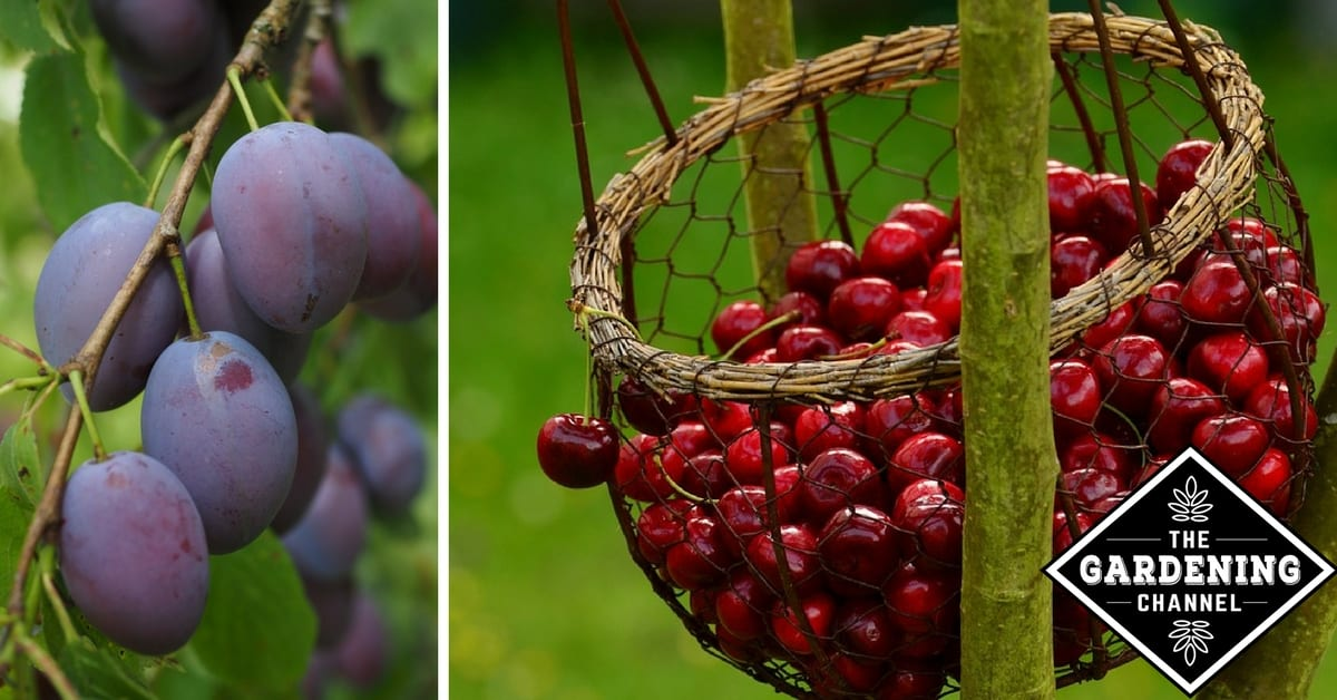 Complete Guide To Starting A Home Orchard Apples Pears Cherries