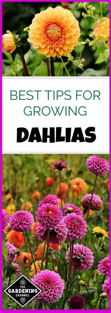 growing dahlias