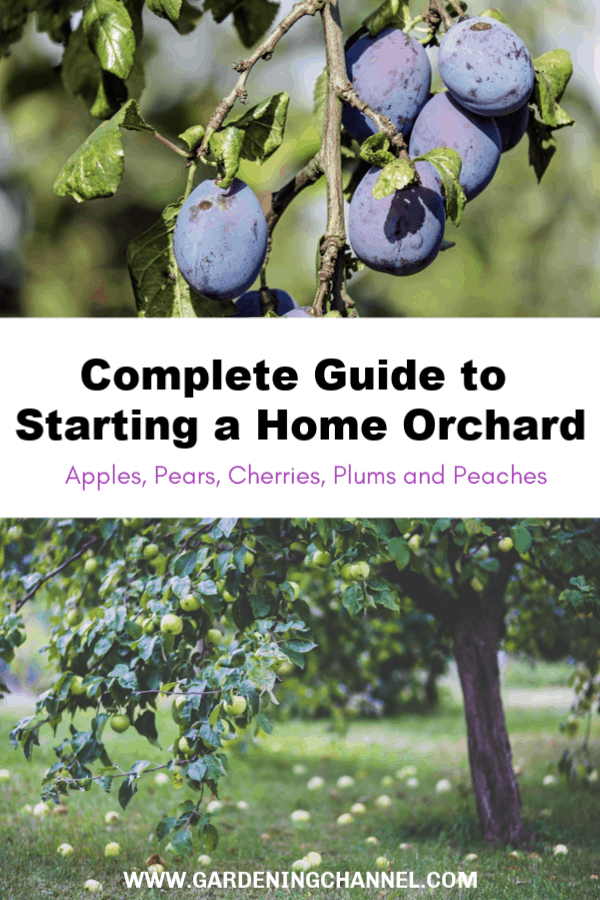 plum tree and apple tree with text overlay complete guide to starting a home orchard apples pears cherries plums and peaches