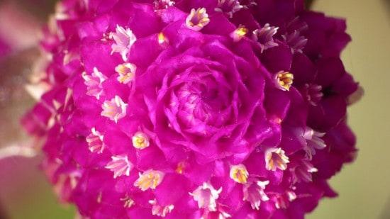 How to Grow Globe Amaranth