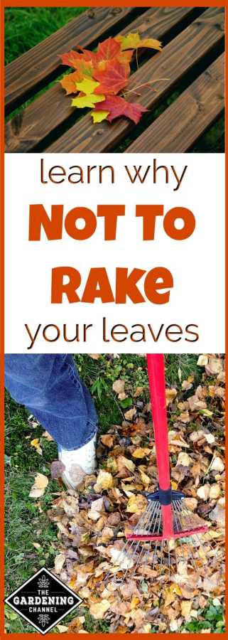 why not to rake leaves