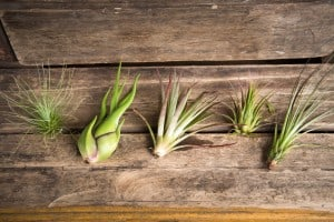 best gardening gift air plants