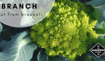 Growing Broccoli Alternatives