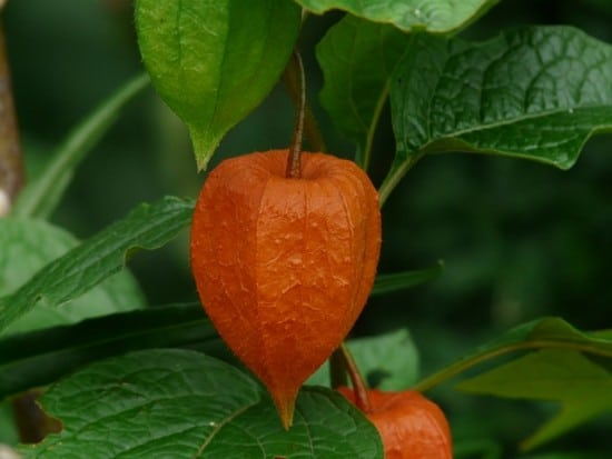 how to grow chinese lantern flower physalis alkekengi, Beautiful flower
