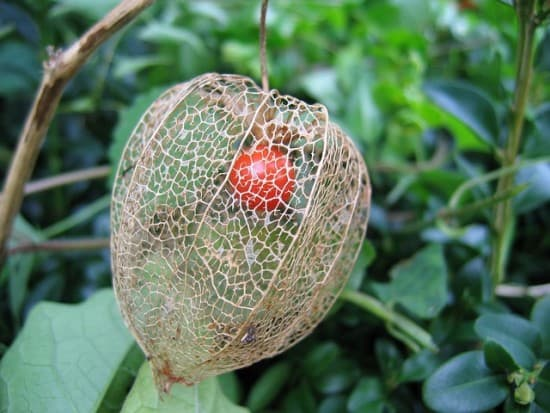 dried chinese lantern flower and fruit