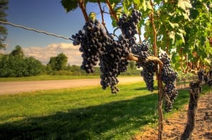 Guide To Growing Wine Grapes