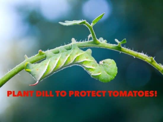 Plant Dill to Attract Tomato Hornworms