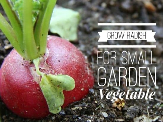 Radish Growing for Small Space Gardens