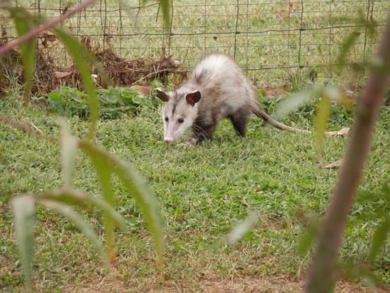 Opossum Helpful to Gardeners