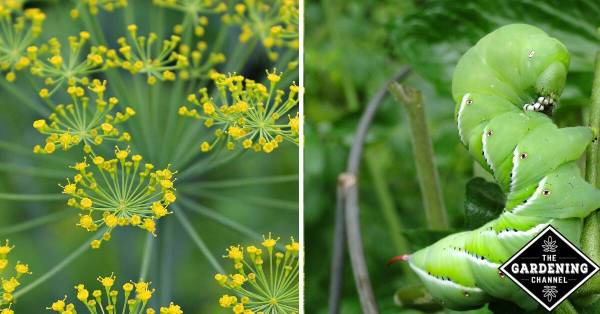 Use dill plants to help prevent hornworms in your garden