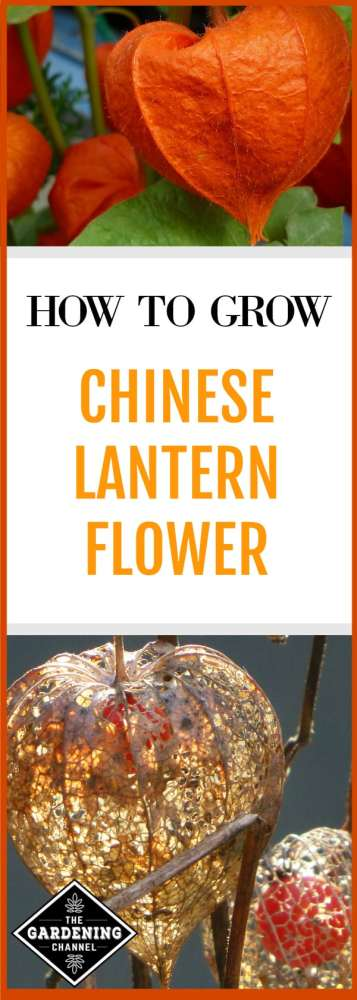 chinese lantern orange bloom dried chinese lantern flower with text overlay how to grow chinese lantern flower