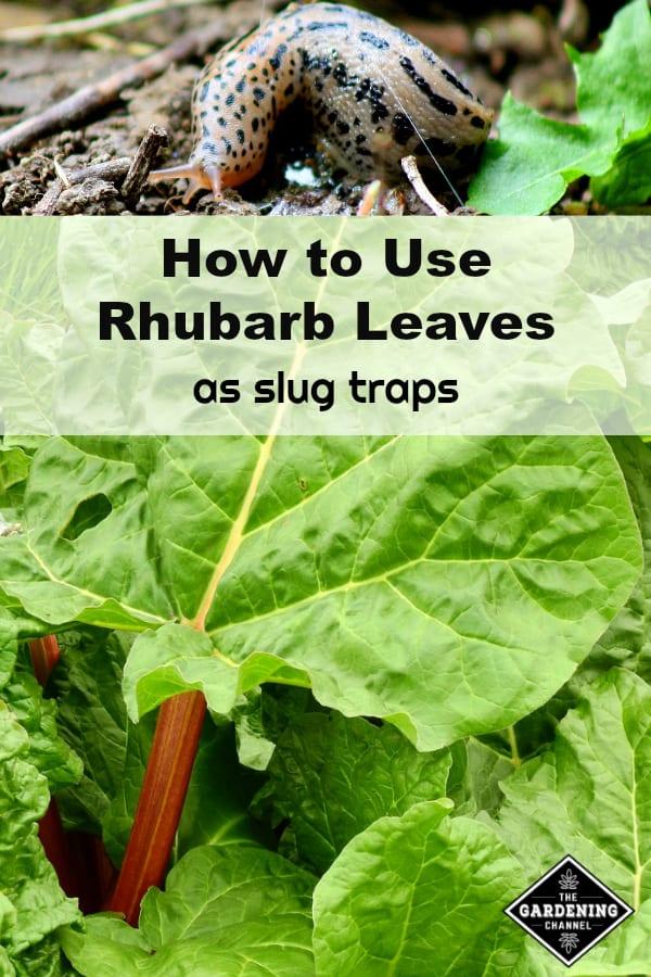 slug and rhubarb leaves with text overlay how to use rhubrab leaves as slug traps