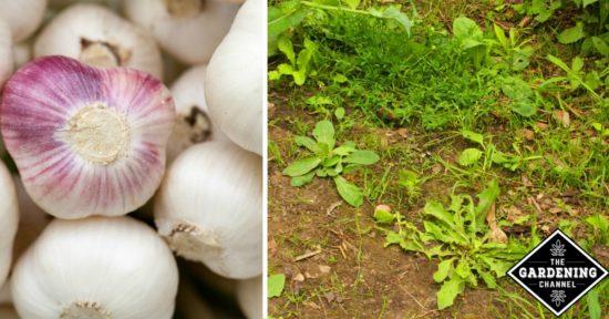 garlic as pesticide