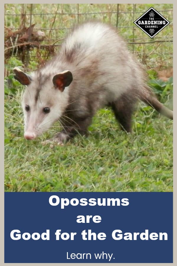 opossum in garden with text overlay opossums are good for garden learn why