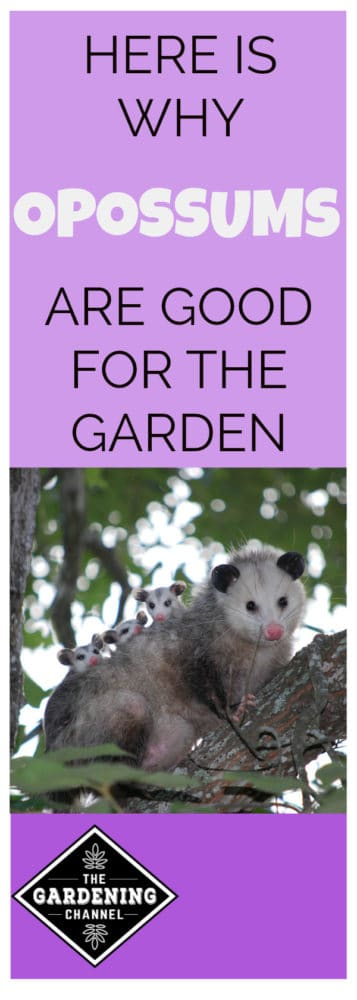 mother and baby opossums in tree with text overlay about why opossums are good for the garden