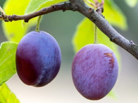 How to Space Fruit on Trees in Backyard Orchard