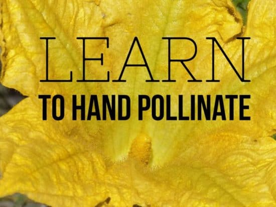 Tips for Hand Pollination