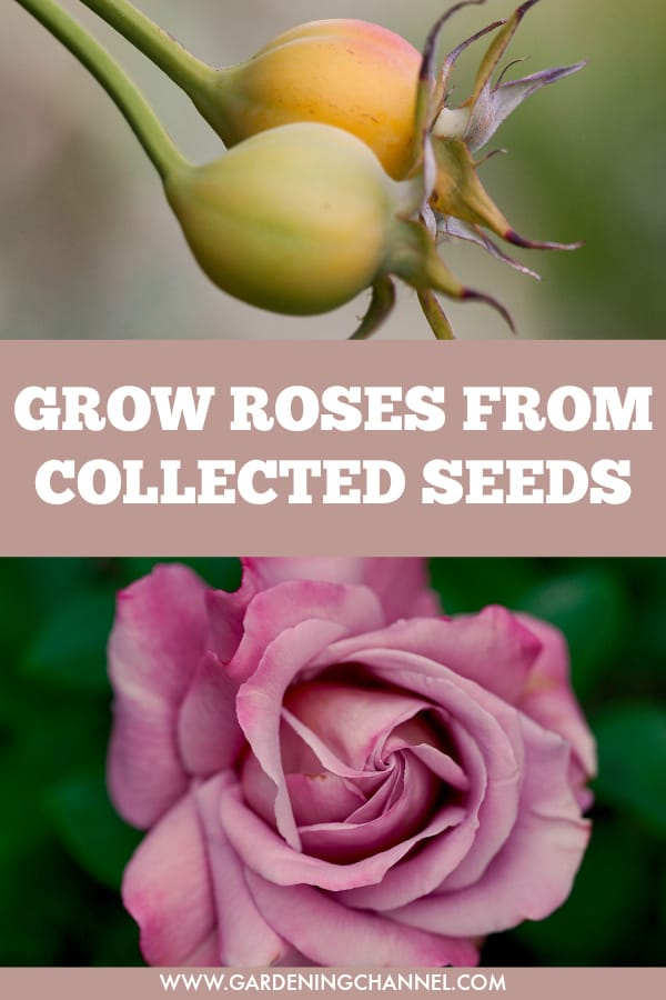 rose hips and pink rose with text overlay grow roses from collected seeds