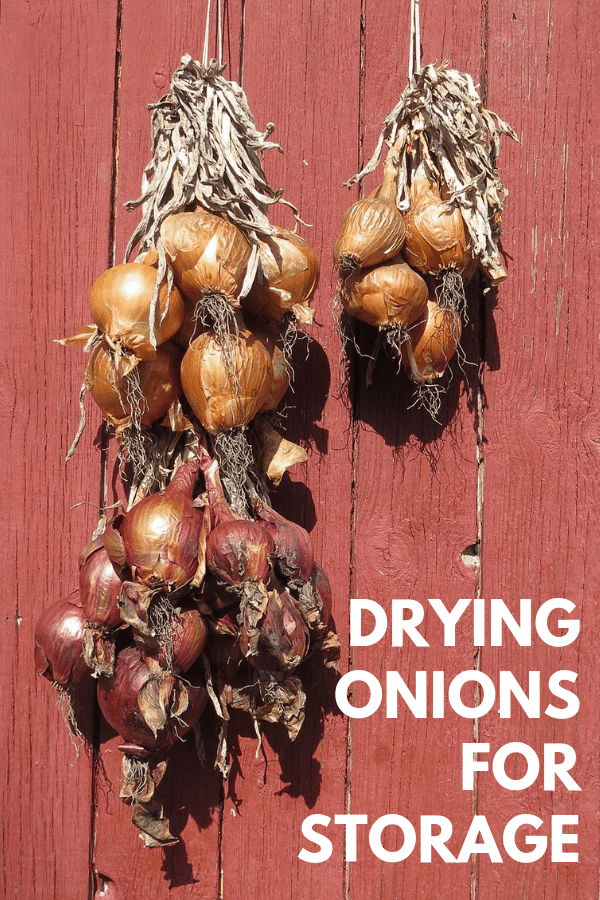 onions hanging to dry on red wooden wall with text overlay drying onions for storage