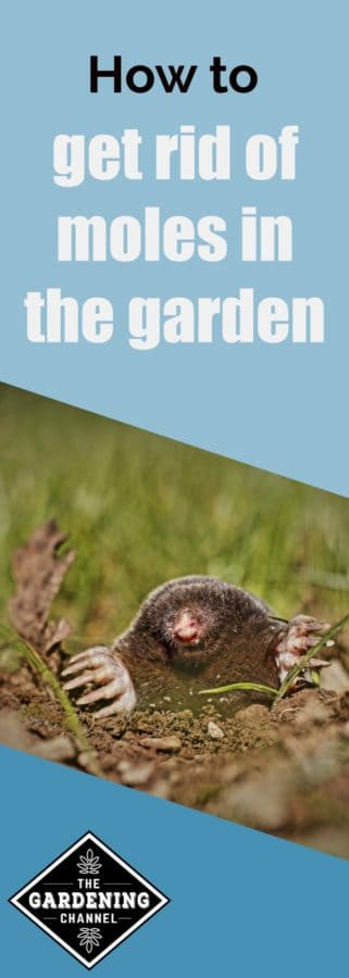 how to get rid of moles in the garden