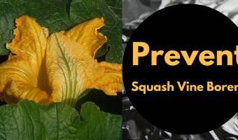 Prevent Squash Vine Borers
