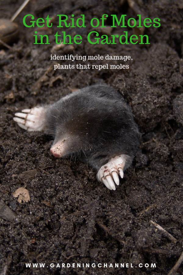 mole digging out of gardening with text overlay get rid of moles in the garden identifying mole damage plants that repel moles