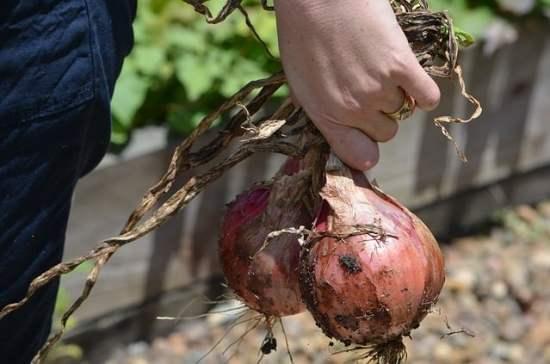 Common onion fungal disease