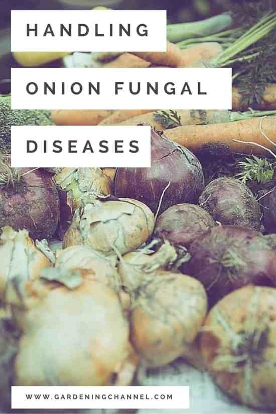 Treating Onion Fungal Diseases in the Garden