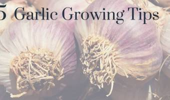 5 Garlic Growing Tips You Don't Want to Miss