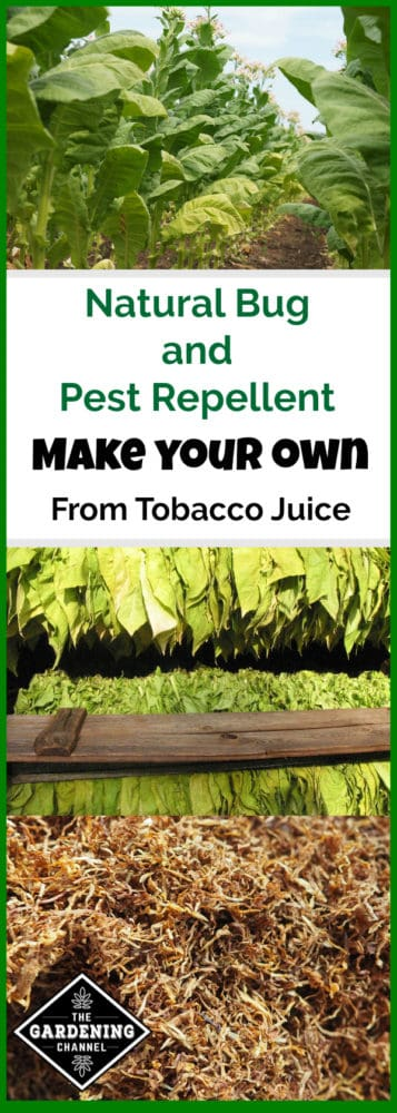tobacco growing in field harvested tobacco drying and dried tobacco natural bug and pest repellent make your own from tobacco juice