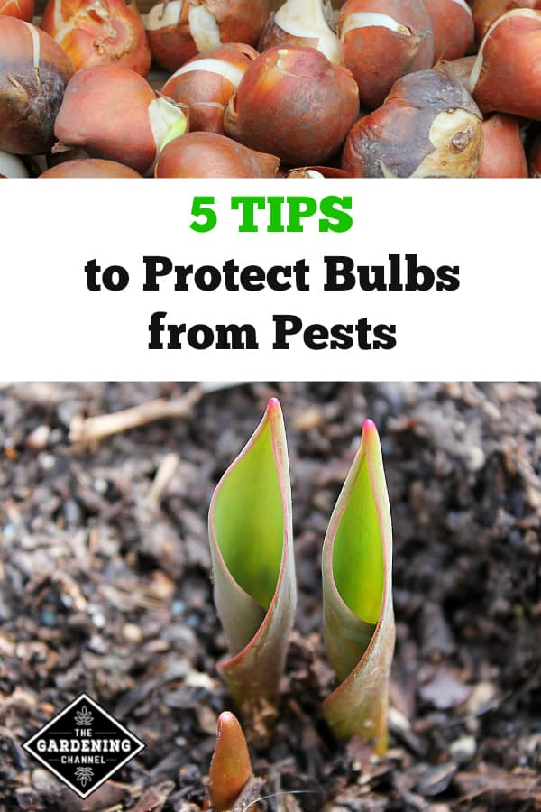 tulip bulbs and bulbs blooming to break soil surface with text overlay 5 tips to protect bulbs from pests