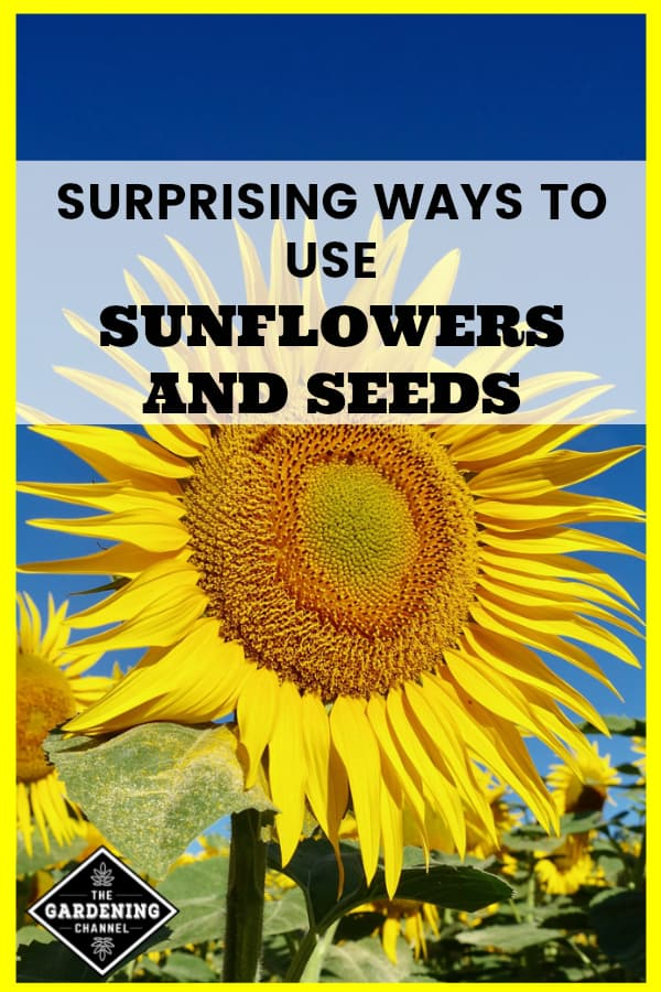large sunflower with blue sky and text overlay surprising ways to use sunflowers and seeds