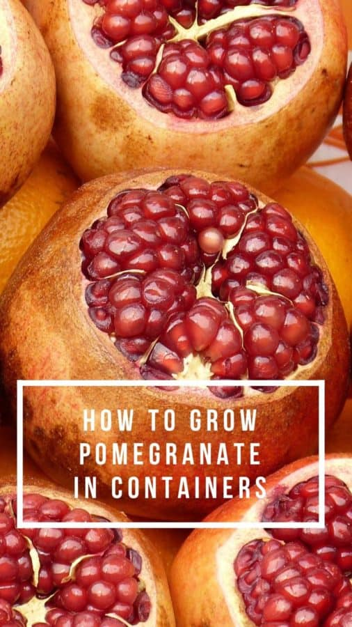 how to grow pomegranate in a container