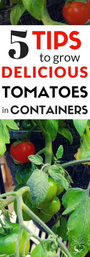 Want to grow the very best tomatoes in containers? Follow these 5 tomato gardening tips and you'll have a successful container garden.