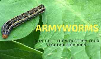 Stop Armyworms from destroying your garden