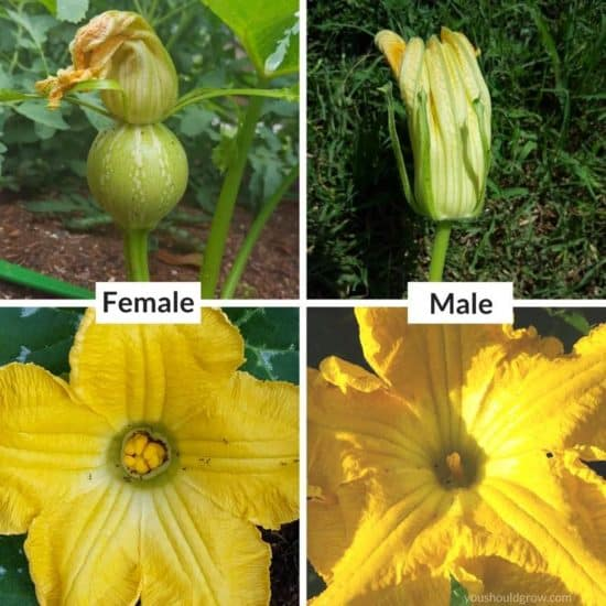 male versus female squash flowers