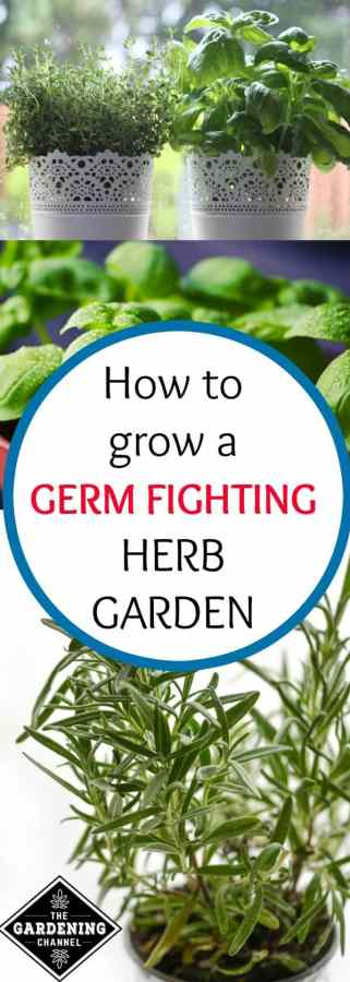 Grow a Germ Fighting Herb Garden