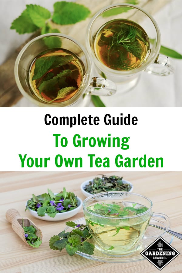 mint tea and fresh tea herbs with text overlay complete guide to growing your own tea garden