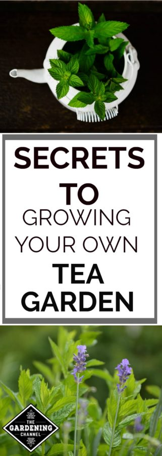 Grow your own tea garden