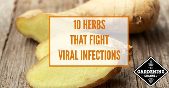 10 Herbs that fight viral infections