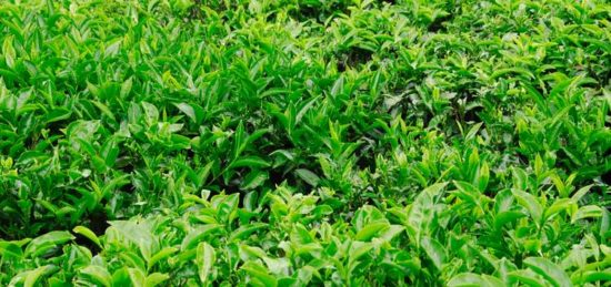 Camellia sinensis growing