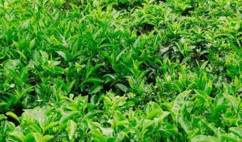 How to Grow, Care for, and Harvest Your Own Tea Garden