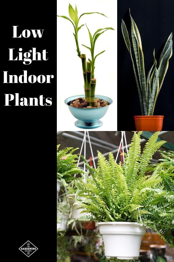 bamboo snake plant fern with text overlay low light indoor plants