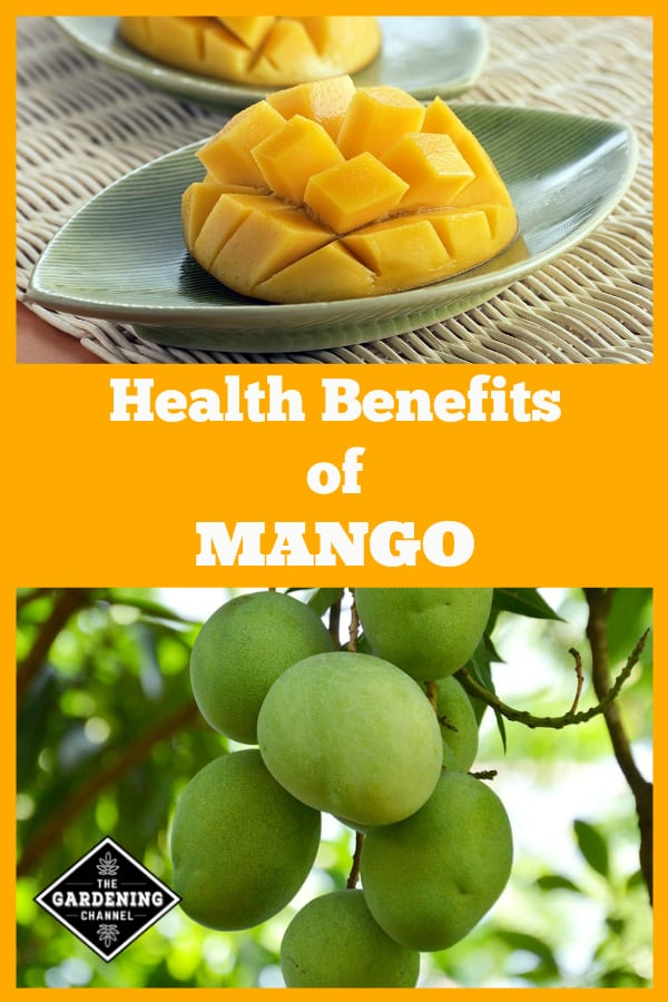 sliced mango and mangoes growing on tree with text overlay health benefits of mango